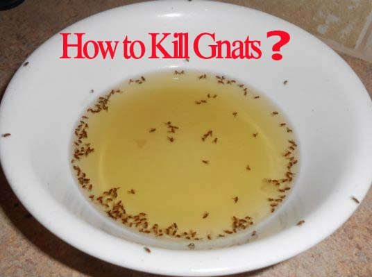home remedies for gnats home remedies to get rid of fruit flies and gnats how to kill gnats. Black Bedroom Furniture Sets. Home Design Ideas